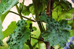 Fingrene er dit bedste våben mod de almindeligste plantesygdomme. Få gode råd mod bl.a. bladlus, krøllede blade og hvide belægninger her.