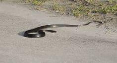 Un serpent qui a des convulsions, il nous prépare certainement une crise cardiaque.