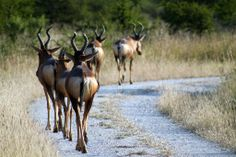 Hartebeest in a row