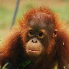 Orangutan Volunteer Work