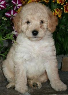Charming goldendoodle miniature puppy picture - http://picturesofdogbreeds.com/charming-goldendoodle-miniature-puppy-picture/ - #Charming, #Goldendoodle, #Miniature, #Picture, #Puppy please visit http://goo.gl/bKOYq2, for more pictures of Charming goldendoodle miniature puppy picture