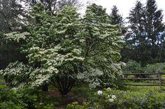 White Kouza in Full Bloom - Late June