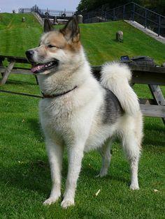 Greenland Dog (Grønlandshund). Please, can i have one8D