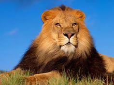 ¿Por qué tienen #melena los #leones?  #Animales #Curiosidades #Naturaleza