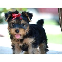 """35 Yorkshire Terrier """"Yorkie"""" Puppies You Will Love Mini Yorkie, Yorkie Puppy, Baby Yorkie, Baby Pets, Teacup Yorkie, Dog Baby, Yorkshire Terrier For Sale, Yorkshire Terrier Puppies, Cute Puppies"""