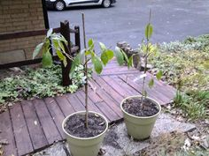 "growngive ""avocado"" trees survive their first Midwest frost. 10/20/15"