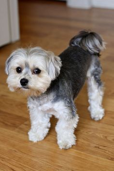 good morkie haircut pictures - Yahoo Image Search Results
