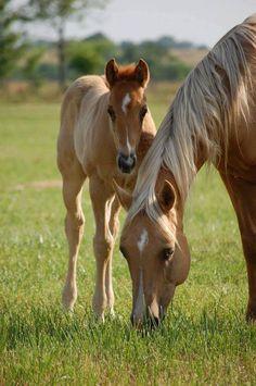 Pretty Palomino colored mare and foal grazing.