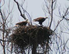 Baby Eagles on the Way