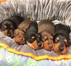 Watch funny and cute dogs and puppies as they are the most lovable pets in the world. Weenie Dogs, Dachshund Puppies, Kittens And Puppies, Dachshund Love, Cute Puppies, Daschund, Doggies, Lab Puppies, Doberman Love