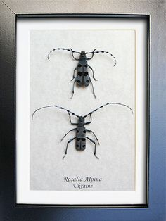 Rare Rosalia Alpina Pair Real Beetles Museum Quality Framed In Display by ButterfliesArtist on Etsy