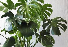 Banana leaves in planter musa nana in plants musa nana for Low maintenance potted plants indoor