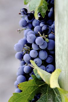 Argento wine vineyards, Mendoza, Argentina