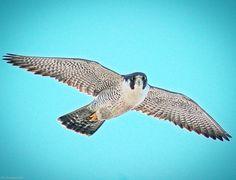 Peregrine Falcon - Woods Hole, MA - 3/18/16 #peregrinefalcon #falcon #raptor #birdofprey #woodshole #capecod #birds #birding #birdsofprey #birdwatching #birdphotography #feather_perfection #chasing_feathers #whatschirping #nuts_about_birds...