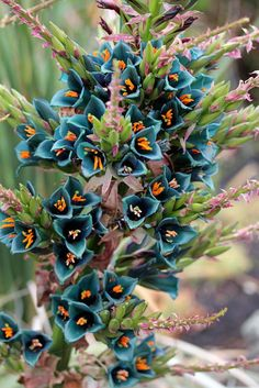 Puya alpestris (Sapphire tower) / 10 seeds - Puya alpestris seeds / 10 seeds per pack Common names: Puya Bromeliad, Sapphire Tower Bromeliad Shi - Unusual Plants, Rare Plants, Exotic Plants, Cool Plants, Weird Plants, Blooming Succulents, Cacti And Succulents, Planting Succulents, Planting Flowers
