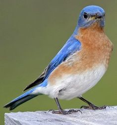 How to Attract Bluebirds to Your Backyard: It can be easy to attract bluebirds.