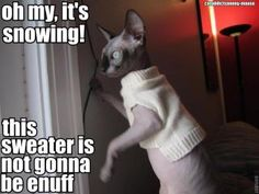 I would love a hairless kitty :)  and I would shamelessly dress him in sweaters :)