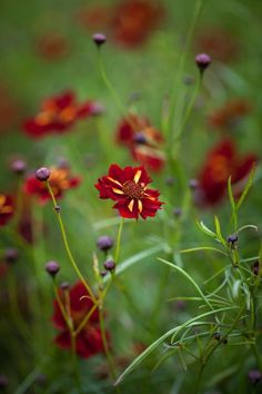 Coreopsis tinctoria, 'Roulette' Seeds from Chiltern Seeds - Chiltern Seeds Secure Online Seed Catalogue and Shop Orange Flowers, Cut Flowers, Colorful Flowers, Seed Catalogs, Types Of Soil, Flower Seeds, Compost, Garden Ideas, Shop