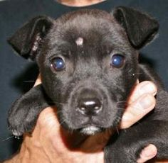 Anita is an adoptable Labrador Retriever Dog in Chipley, FL. Anita is an 8 week old female lab/terrier cross. She is very sweet and playful, well socialized and adorable. Such a tender young age to be...