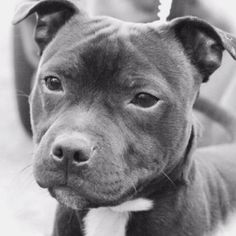 Pit Puppies, Pit Dog, Pitbull Terrier, Bull Terriers, Pitbull Boxer, Boxer Mix, Animals And Pets, Cute Animals, Top Dog Breeds