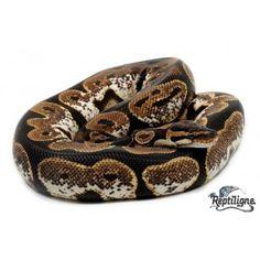 Python regius (Python royal) Sugar