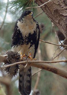 Black Sparrowhawk - by Graham Searll