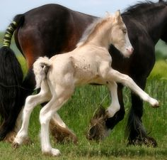 This little colt belongs to the Stable of Tine in France - the photography is by Corinne Eisele. This boy is a buckskin colour - his mother, Charlene, is bay and his father, Goldwyn, is a smoky palomino.