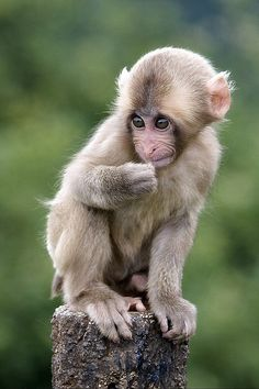 Kyoto, Japan - Monkey Hill Cute Baby Monkey, Pet Monkey, Cute Baby Animals, Animals And Pets, Funny Animals, Beautiful Creatures, Animals Beautiful, Dog Pictures, Animal Pictures