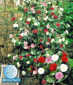 Winterharte Garten-Kamelie 'Tricolor'