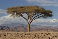 Tree in the Sahara, with Jebel Sarhro in the distance, Morocco by Stephen Laverack, via Flickr