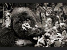 http://www.geo.fr/var/geo/storage/images/photos/vos-reportages-photo/rwanda-parc-national-des-volcans-gorilles-de-montagne/volcan-karisimbi-portrait-dufatanye/553027-3-fre-FR/portrait-de-dufatanye_940x705.jpg