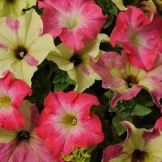 Buy petunia seeds, large variety. shown: Fuseables Lime Coral Petunia - Annual Flower seeds