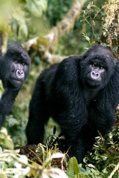 Click through to catch a glimpse of what it's like to connect with a mountain gorilla in Rwand. Photo by Dian Fossey Dian Fossey, Gorilla Trekking, Mountain Gorilla, Close Encounters, African Safari, What Is Like, Habitats, Connect, Animals