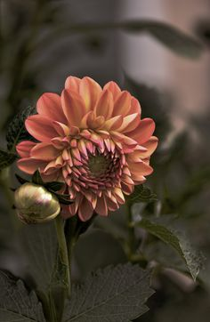 ~~Dusk | Woodland Taco Time Dahlia blooming in our Colorado Garden, summer 2015. A formal decorative dahlia with blended blooms of orange and yellow. Prolific bloomer that grows to 3-1/2 ft tall | by Robin Evans~~