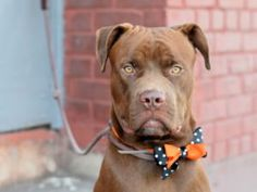 TO BE DESTROYED 10/19/16 A volunteer writes: This beautiful boy is very clearly a chocolate lab mix, full of energy, licks for everyone, and puppy love (although he's a big one, this sweetheart is most definitely still a puppy!). Belarus loves to play and run, gets very excited about other dogs, and loves to cuddle. He is a huge ball of joy and smiles, eager to try to get into the lap of anyone who will give him a scratch behind the ears (I don't think he quite realizes how big he is!)…