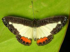https://flic.kr/p/d3XxMw | Firestreak, Nymphidium sp.,  Nymphidiini, Riodinidae