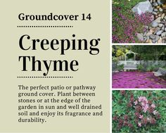 Patio Ground Cover Ideas 11 of the best ground cover perennials Creeping Thyme Groundcover 14 The Perfect Patio Or Pathway Ground Cover Plant Between Stones Or
