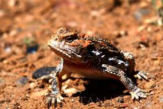 Too Proud - Horned Toad of New Mexico - TEOMONTANA's Photoblog