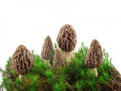 Grow Morel Mushrooms at home