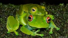 A fungus that devastates amphibian populations – often to extinction – is now widespread in Madagascar and could threaten its 500 frog species, say scientists Amphibians, Reptiles, Frog Species, Jumping Frog, Baby Orangutan, Madagascar, Fungi, Animal Pictures, First Time