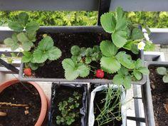 Strawberries in my balcony garden Balcony Garden, Strawberries, Plants, Strawberry Fruit, Plant, Balcony Gardening, Strawberry, Planets, Strawberry Plant