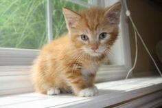 Chester is an adoptable Domestic Medium Hair - Orange And White Cat in Newaygo, MI. MEET Chester -a 9 week old handsome guy is up for adoption! Very loving and affectionate is this one - hurry he won'...