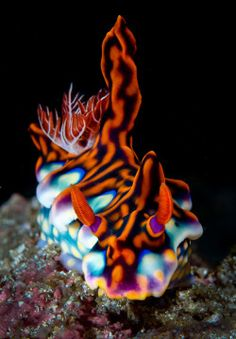 trynottodrown:  Colorful nudibranch against black background |Phil Sokol