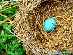 Robin's nest after the rain.