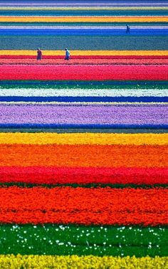 15 Unbelievable Places we resist really exist - Tulip Fields, Netherlands
