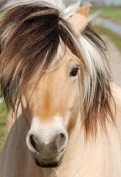 Het Fjordenpaard behoort tot één van de oudste en zuiverste paardenrassen ter wereld. Het paard is afkomstig ui Noorwegen, vooral het westen van het land. Over het oorsprong is niet veel gekend. Men beweert dat het paard van uit het Oosten is gekomen. Men vermoedt dat het Fjordenpaard een nakomelinge is van de eerste paarden die in Noorwegen waren. Door contacten met andere landen heeft het paard meest waarschijnlijk ook invloeden gehad.