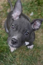 Pod is an adoptable Pit Bull Terrier Dog in Mchenry, IL. Pod is a 14 week old Blue Nose Pitbull mix. She's a sweetheart that loves to cuddle and give TONS of kisses. Her sister Pea is also for adopti...