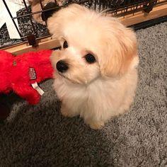 ⭐️2017/01/30⭐️目線の先には...おやつ🍭  トリミングから帰ってきてから獅子丸に何回可愛いーって連呼したんだろうっ....😍😍😍 #tokyo#toypoodle#chihuahua#chihuapoo#toypoodlemix#chihuahuamix#puppy#dog#poodlestagram#プーチー#チワプー#mix犬#トイプードル#トイプー#チワワ#mix犬同好会#チワプー#トリミング#同好会#獅子丸#愛犬#愛犬家#토이푸들#치와와