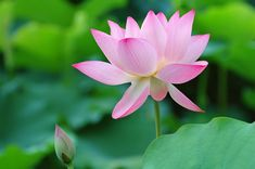 National Flower of India (Lotus) - An Essay