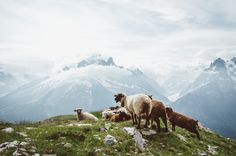 Sheep in the French Alps 2 - Read more about this region over <a…